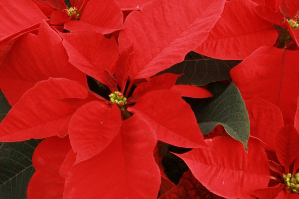 Red Poinsettiua