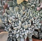 topsy Turvyhttp://www.franklinbrothers.com/images/succulents/